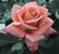 My favorite Rose
